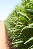 Crecimiento del maíz Imagen de archivo libre de regalías