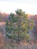 Crecimiento del pino Imagen de archivo