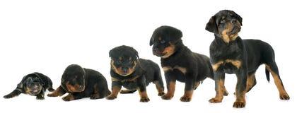 Crecimiento del rottweiler del perrito Fotos de archivo libres de regalías