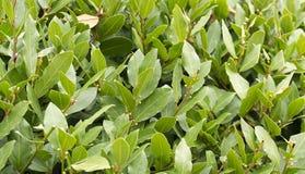 Crecimiento del seto del arbusto del laurel Fotos de archivo libres de regalías