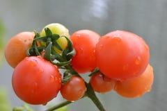 Crecimiento del tomate Fotografía de archivo libre de regalías