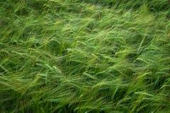 Crecimiento del trigo del campo de grano que crece el cultivo verde agrícola Fotografía de archivo libre de regalías