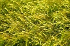 Crecimiento del trigo del campo de grano que crece el cultivo verde agrícola Imágenes de archivo libres de regalías