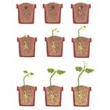 Crecimiento, desarrollo y arraigo de la semilla de la planta dentro de la maceta, libro de texto clásico Infographic educativo de Imagen de archivo