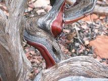 Crecimiento espiral del tronco de árbol Imágenes de archivo libres de regalías
