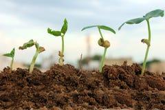 Crecimiento-Etapas de la planta del desarrollo de la planta Imagen de archivo libre de regalías