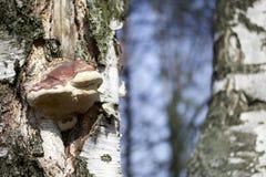 Crecimiento fungoso de madera en un árbol de abedul Imagen de archivo libre de regalías