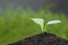 Crecimiento joven del verde de la col com n Fotografía de archivo libre de regalías