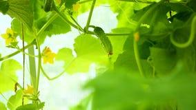 Crecimiento joven fresco de los pepinos almacen de video