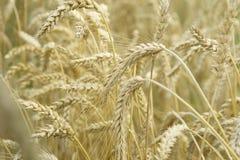 Crecimiento maduro del trigo Imagenes de archivo