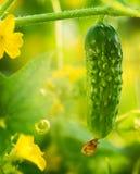 Crecimiento orgánico del pepino Fotos de archivo libres de regalías