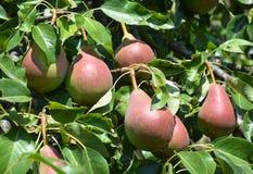 Crecimiento para las tres peras rojas frescas jugosas en el jardín Fotografía de archivo libre de regalías