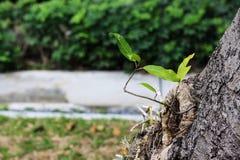 Crecimiento poco verde de árbol viejo Foto de archivo libre de regalías
