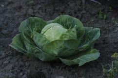 Crecimiento principal de la col fresca en la granja Fotografía de archivo