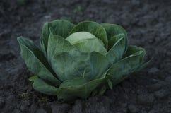 Crecimiento principal de la col fresca en la granja Foto de archivo libre de regalías