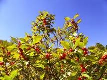 Crecimiento rojo de los árboles de cerezas Imagen de archivo libre de regalías