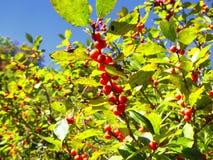 Crecimiento rojo de los árboles de cerezas Fotos de archivo