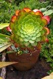 Crecimiento suculento rojo y verde abierto hermoso Fotos de archivo