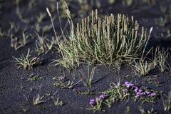 Crecimiento a través de la ceniza volcánica Fotografía de archivo