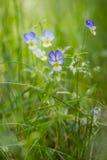 Crecimiento tricolor de la viola de los Wildflowers en hierba gruesa Imagenes de archivo