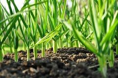 Crecimiento vegetal del ajo Fotografía de archivo libre de regalías