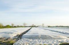Crecimiento vegetal Peque?os invernaderos Spunbond a proteger contra helada y para guardar la humedad de verduras Argumentos agr? fotografía de archivo