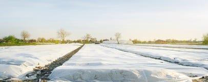 Crecimiento vegetal Peque?os invernaderos Spunbond a proteger contra helada y para guardar la humedad de verduras Argumentos agr? imagen de archivo libre de regalías