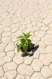 Crecimiento vegetal verde en la tierra agrietada del desierto Imagen de archivo