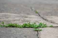 Crecimiento vegetal verde a través de la grieta en asfalto Imagen de archivo libre de regalías