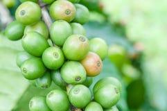 Crecimiento verde de los granos de café Imagenes de archivo