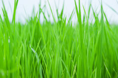 Crecimiento verde del arroz para arriba en cierre encima de la opinión del fondo Fotos de archivo libres de regalías