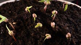 Crecimiento verde del brote del tuétano vegetal almacen de video