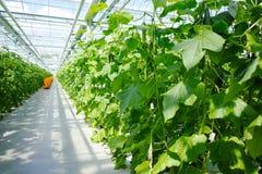 Crecimiento verde orgánico sabroso de los pepinos en el invernadero holandés grande, ev Foto de archivo libre de regalías