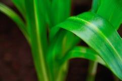 Crecimiento y frescura del concepto La planta verde de largo extendida se va verde claro en el primer oscuro del fondo Foco selec Fotos de archivo