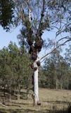 Crecimientos en un árbol de goma Imagenes de archivo