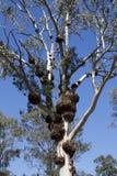 Crecimientos en un árbol de goma Fotos de archivo libres de regalías