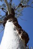 Crecimientos en un árbol de goma Foto de archivo