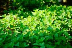 Credi che tutti voi imperativo abbia sentito il nome? Mint le foglie, riutilizzate in molte industrie inscatoli l'alimento ed i c Immagine Stock