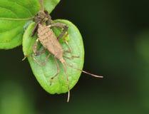 Creduto per essere un insetto di zucca munito di casco (galeator di Euthochtha) immagini stock