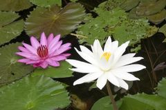 Creek with the blossoming lotuses Stock Images
