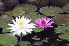 Creek with the blossoming lotuses Royalty Free Stock Photo