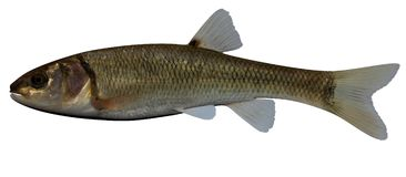 Creek Chub. Fish isolated on white background Stock Images