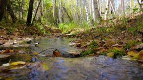 The Creek corre através de uma floresta ensolarada do vidoeiro do outono segue o foco vídeos de arquivo