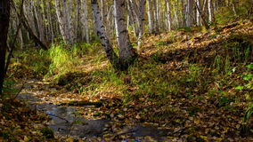 The creek flows through a sunny autumn birch forest. Time lapse. Movement. The brook flows through a sunny autumn birch forest. Pure spring water running among stock video footage