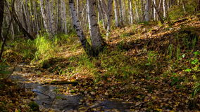 The creek flows through a sunny autumn birch forest. Time lapse. Movement. 4K. The brook flows through a sunny autumn birch forest. Pure spring water running stock video footage