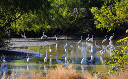 Creek Full of Heron. Large group of white herons wade in a shallow creek in the Delta area of Arkansas.  Trees surround area Royalty Free Stock Images