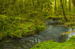 Creek in Hoh Rain Forest Olympic National Park Washington state. Small river in the lush mossy Hoh rain forest of Olympic National Park Washington state Royalty Free Stock Photo