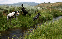 Creek Jumpin  Dogs Royalty Free Stock Image