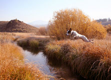 Creek Jumpin' Jack. Jack Russel Terrier creek jumping Royalty Free Stock Photos