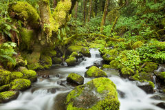 Creek through lush rainforest, Columbia River Gorge, USA Royalty Free Stock Photography